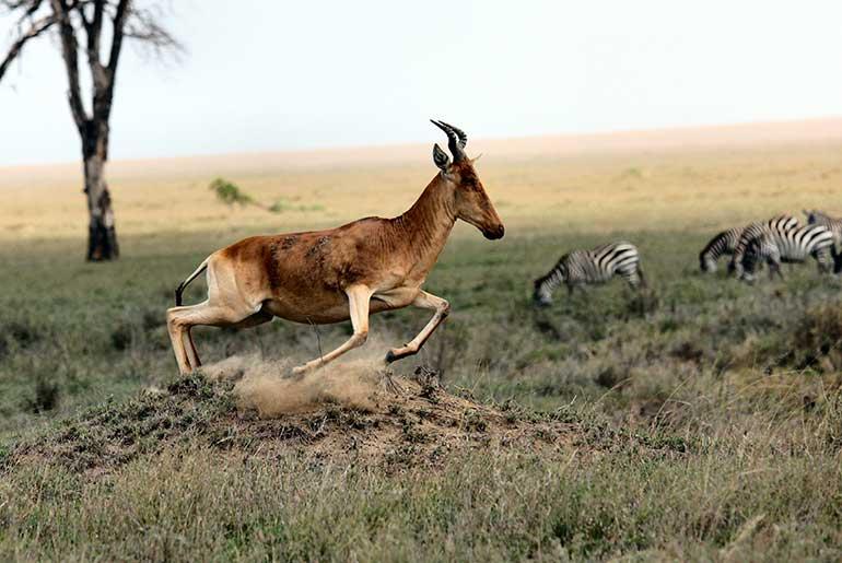 antelope zebras in plain