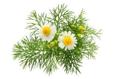 Flowering chamomile plant