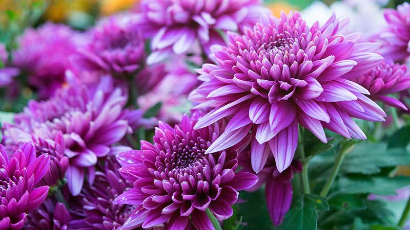 Pinky purple Chrysanthemum