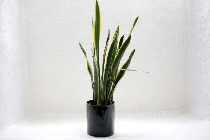 Snake plant in a black pot